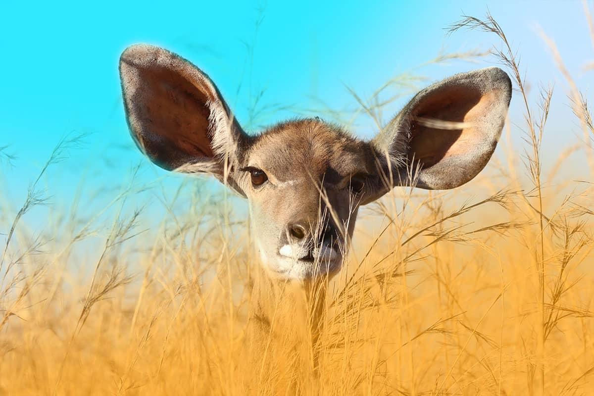 Deer-Big-Ears