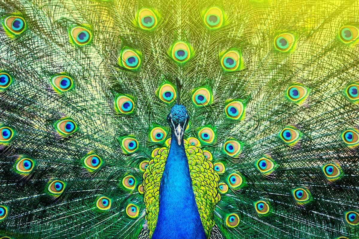 Peacock-Stand-Out