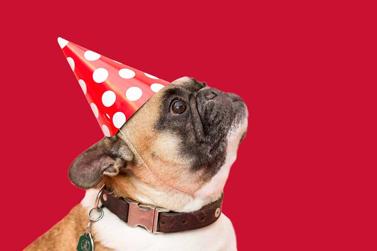 French-Bulldog-party-Hat
